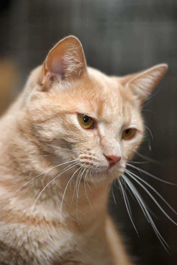 Светлый красный кот стоковые изображения rf