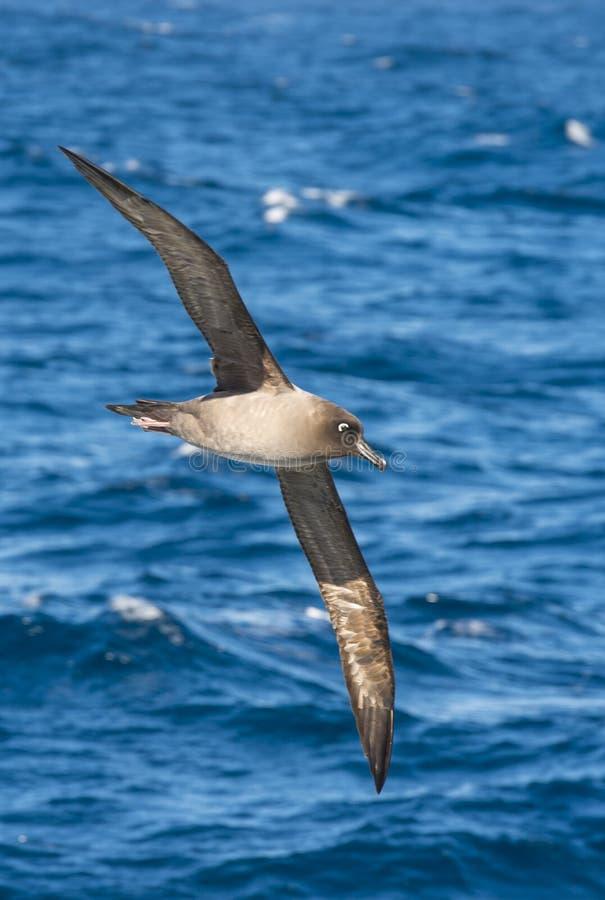 Свет-mantled сажное летание альбатроса стоковые изображения