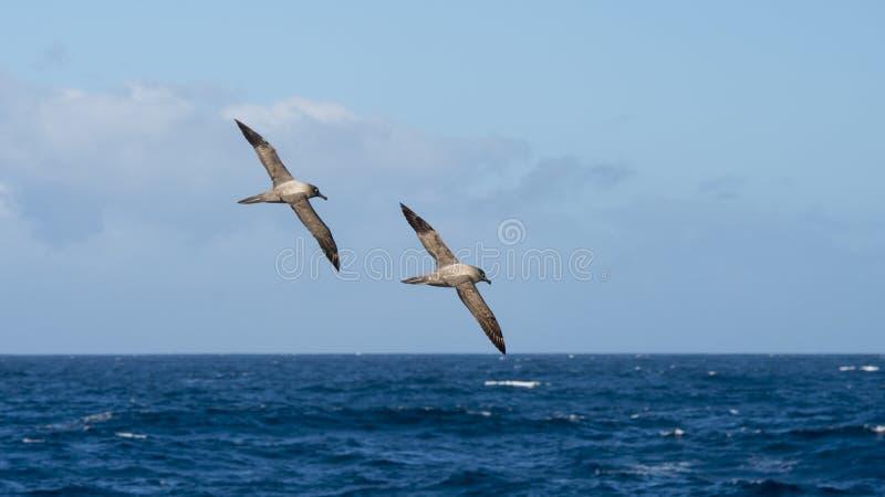 Свет-mantled сажное летание альбатроса стоковые фото