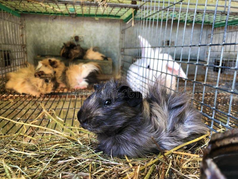 свиней в гвинейском зоопарке руссица около славонского брод или семейный зоопарк милец, хорватия - zamorci u privatnom zooloskom  стоковые фото