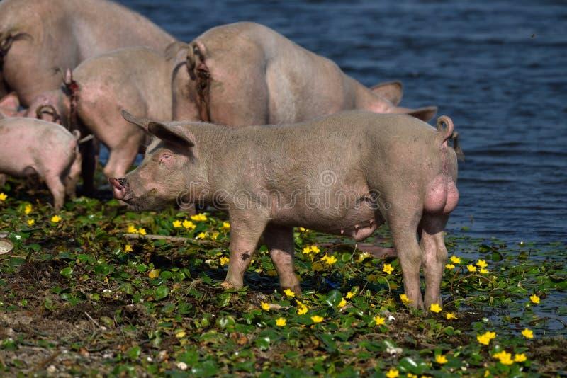 Свиньи внешние стоковые фото