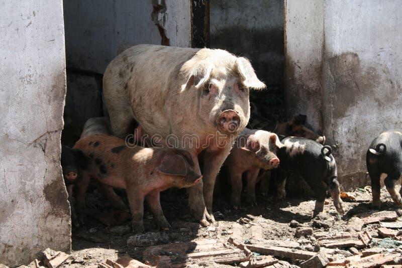 Свиньи в доме стоковое фото