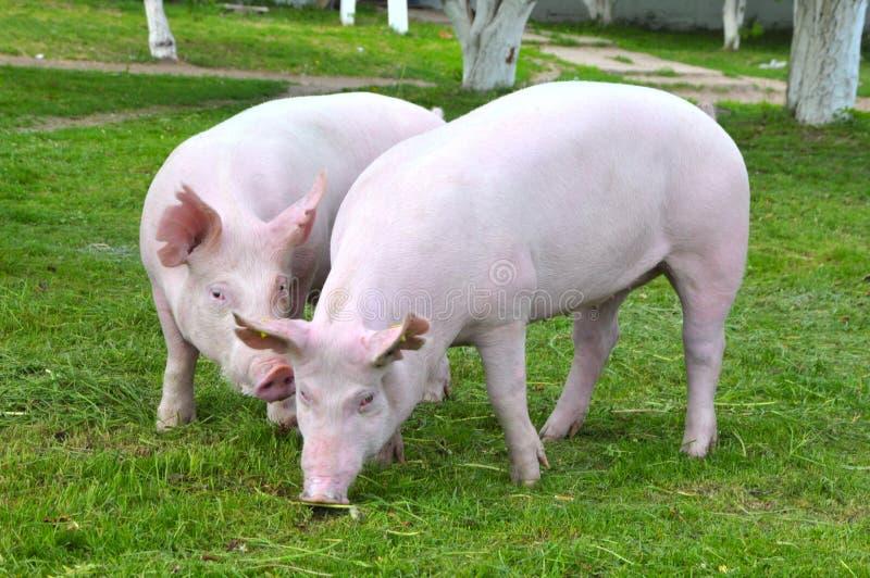 свиньи молодые стоковое изображение