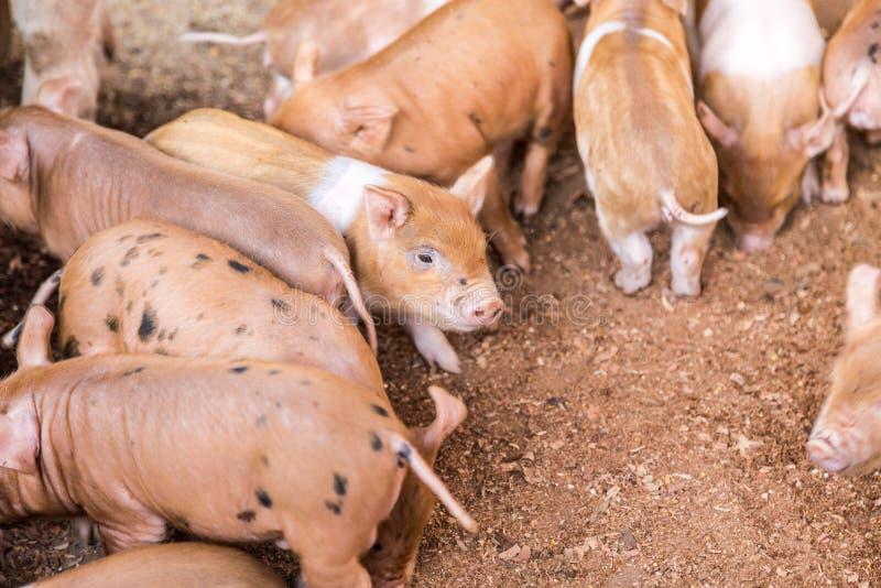 Свиньи младенца в ферме стоковое изображение