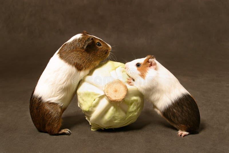 Download свиньи обеда стоковое фото. изображение насчитывающей грызун - 489962