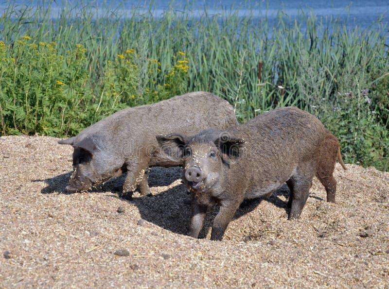Свиньи породы mangalica стоковые фото