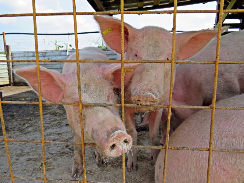 Свиньи - традиционное сельское хозяйство стоковое фото