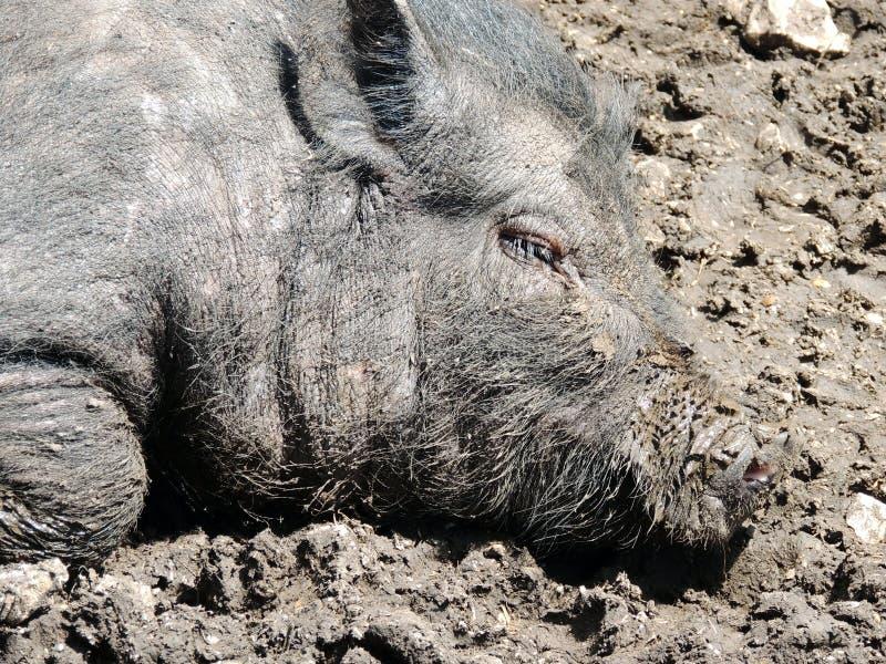 Свинья бак-bellied вьетнамцем стоковое изображение rf