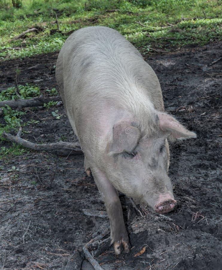 Свинья двора амбара стоковое изображение rf