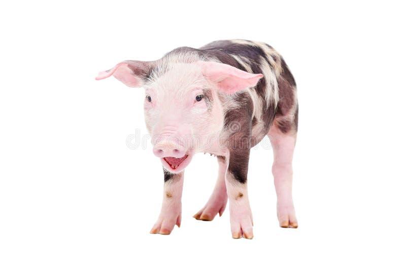 Свинья ворчанья маленькая стоковое изображение