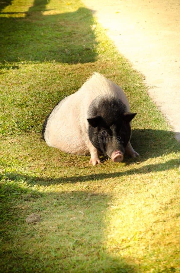 Свинья живота бака на зеленом поле стоковые изображения rf