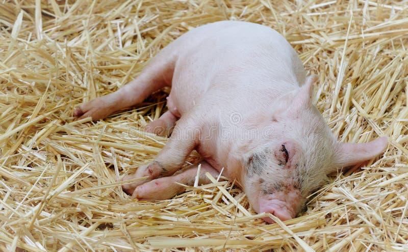 свинья залива спать на соломе стоковые изображения