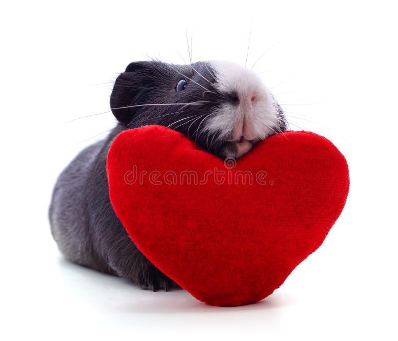 свинья и сердце гвинеи стоковые фотографии rf
