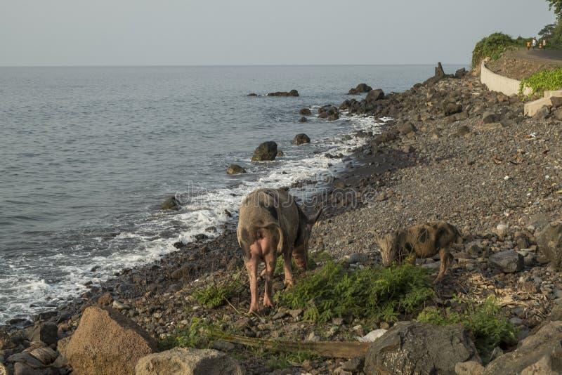 Свинья, который будет идти море стоковое фото