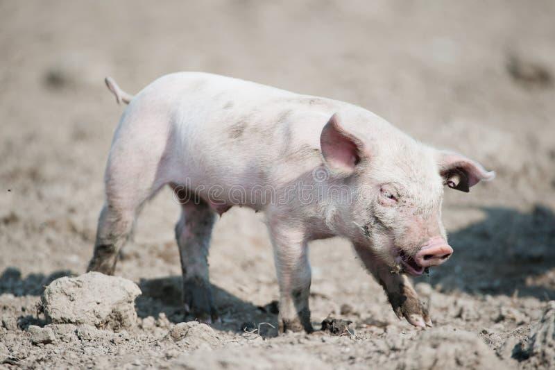 свинья младенца милая счастливая стоковое фото
