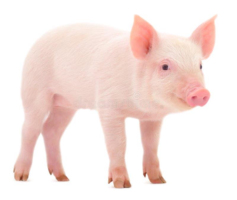 Свинья на белизне стоковое изображение rf