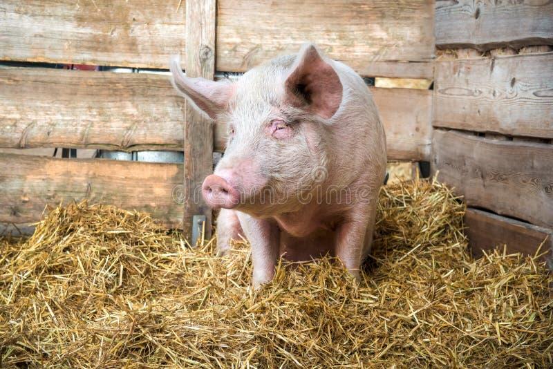 Свинья на сене и соломе стоковая фотография rf