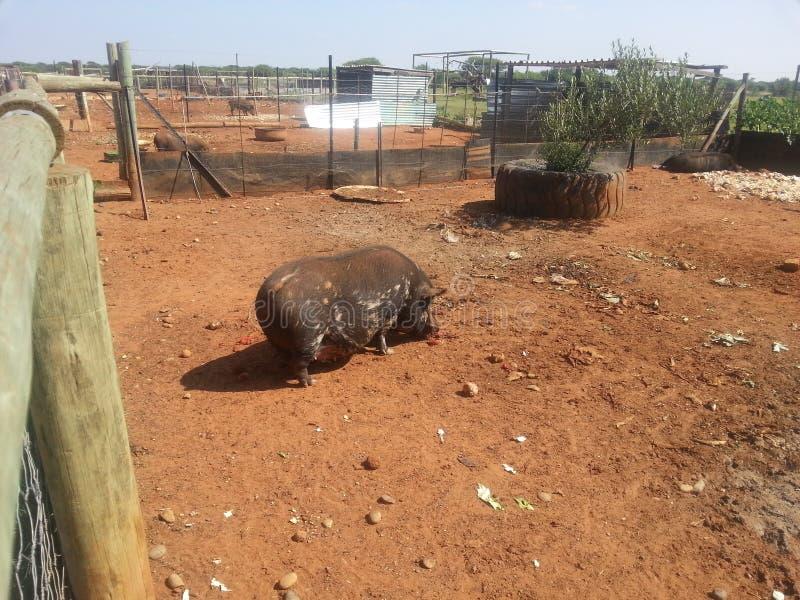 Свинья на ферме стоковая фотография rf