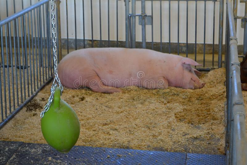Свинья спать в ферме Обрабатывать землю в сельской местности стоковая фотография rf