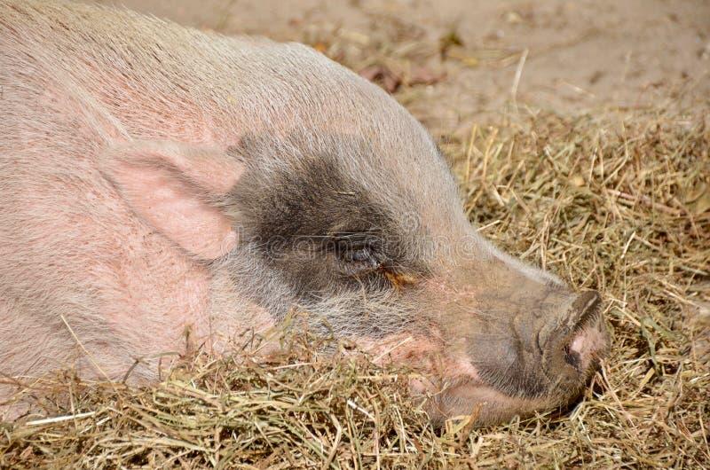 Свинья спать стоковое фото