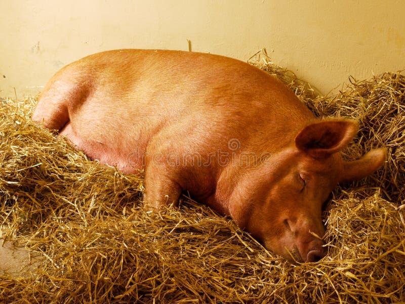 Свинья спать стоковая фотография