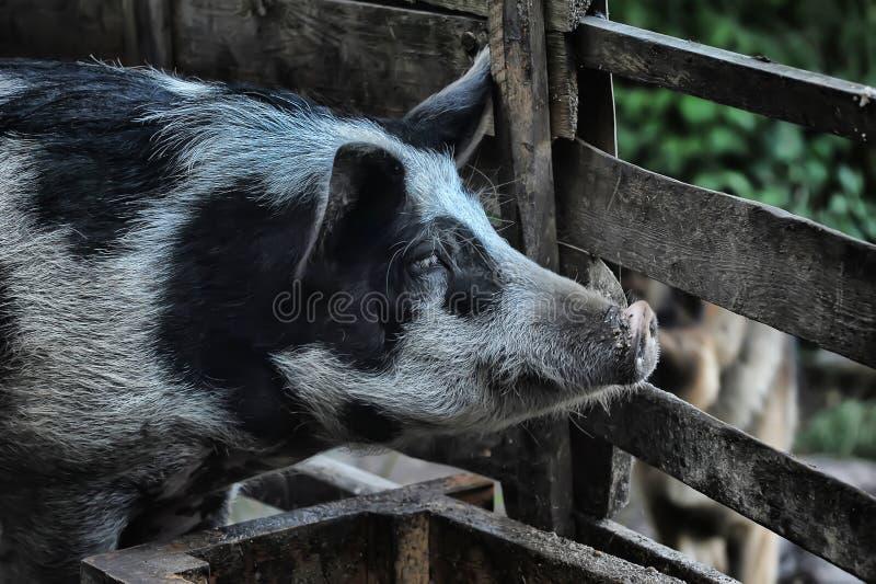 Свинья с ручкой стоковое изображение