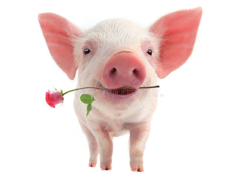 Свинья улыбки стоковые фото