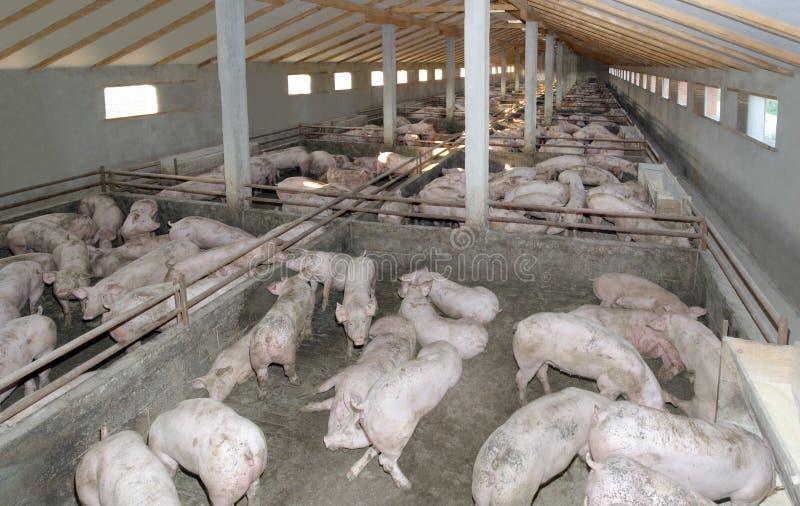 свинья фермы стоковая фотография