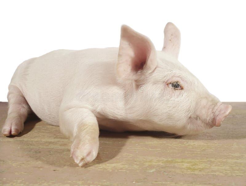 свинья 02 стоковые фотографии rf