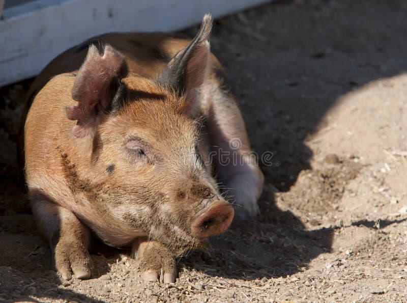 Свинья Duroc Napping стоковое изображение rf