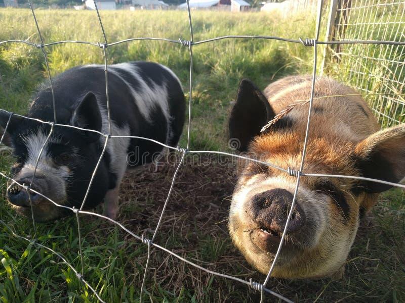 Свинья Potbelly стоковые изображения rf
