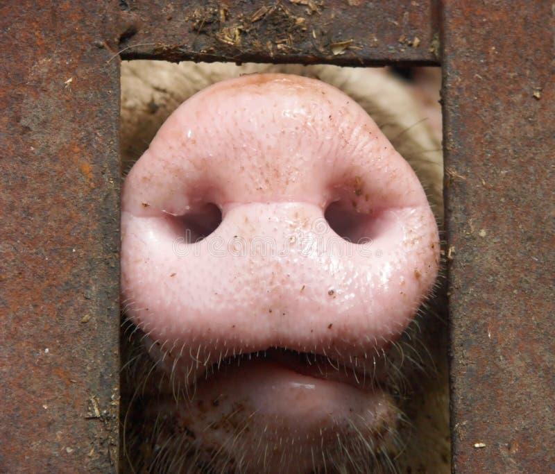 свинья s носа стоковые фото