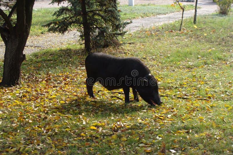 свинья s парка черного города подавая стоковые изображения