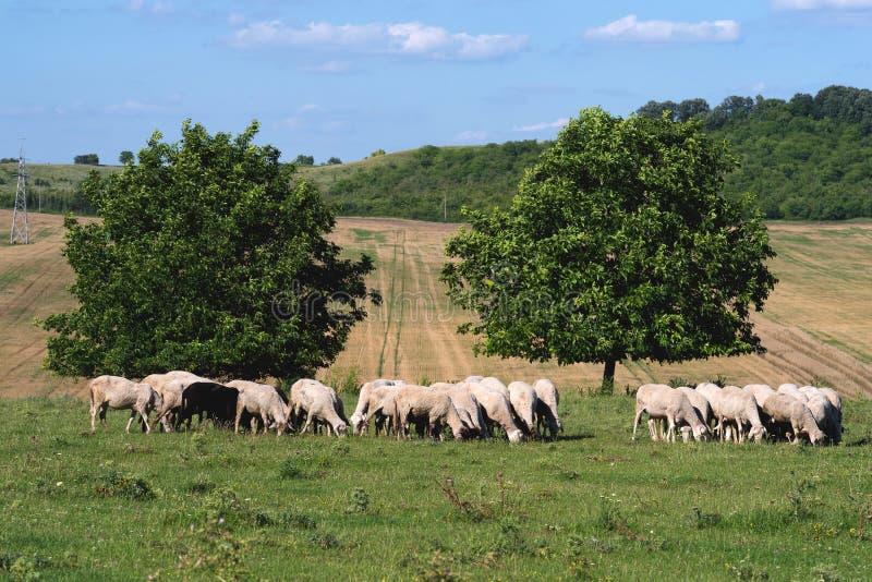 Свип-пастух на лугу стоковая фотография rf