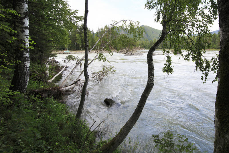 Download Свисая деревья березы на реке Katun горы Стоковое Фото - изображение насчитывающей двухчленной, тавром: 40589122