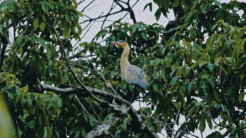 свистя птица цапли сидя на ветви на сени джунглей тропического леса близко к реке стоковые фото