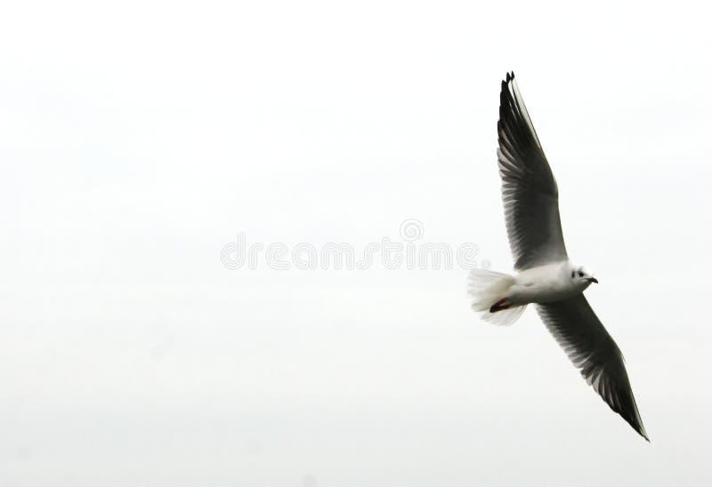 свободная чайка летая стоковая фотография