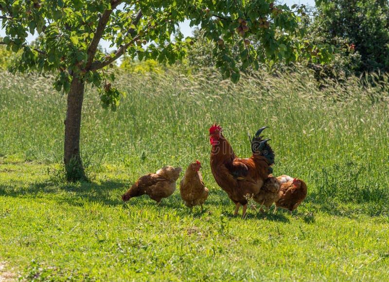 Свободные петушок и курицы ряда в Хорватии стоковое фото rf