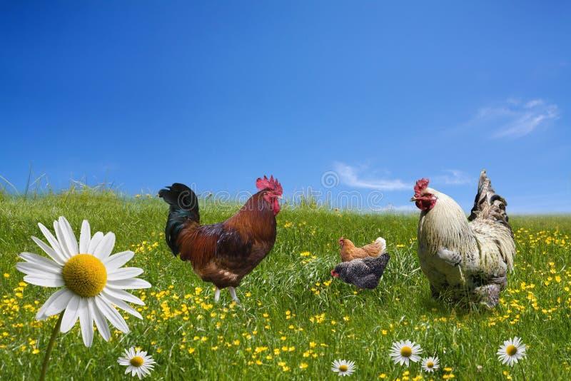 Свободные цыплята ряда на зеленом лужке стоковая фотография rf