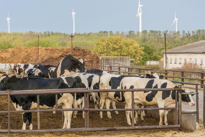 Свободный ряд коров и скотин стоковая фотография rf