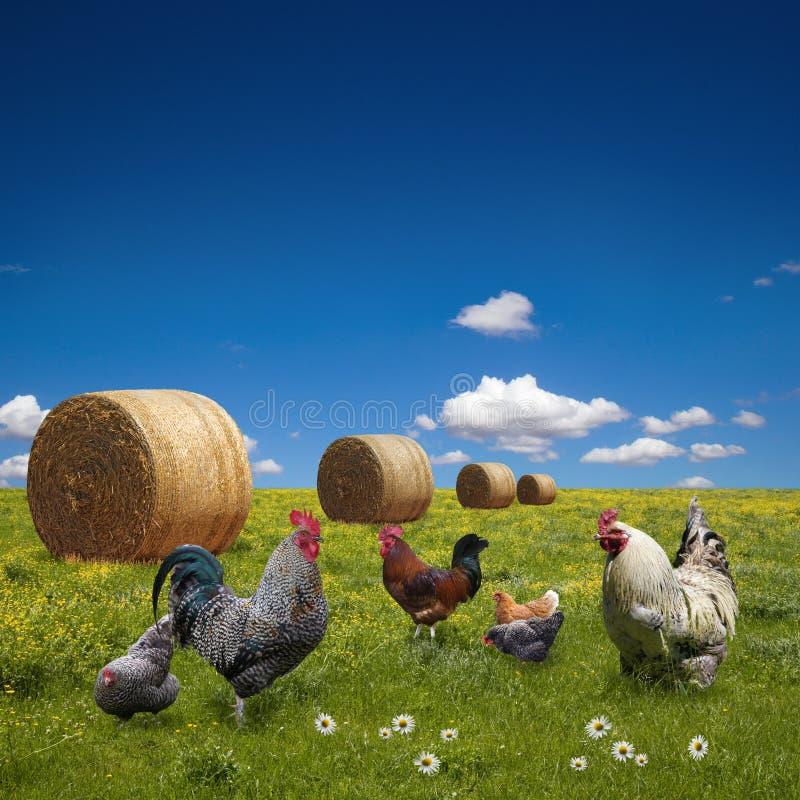 Свободные цыплята ряда на зеленом лужке стоковое фото rf