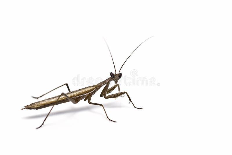 свой ждать prey mantis стоковое фото rf