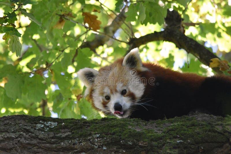 свой лижа красный цвет панды носа стоковое фото rf