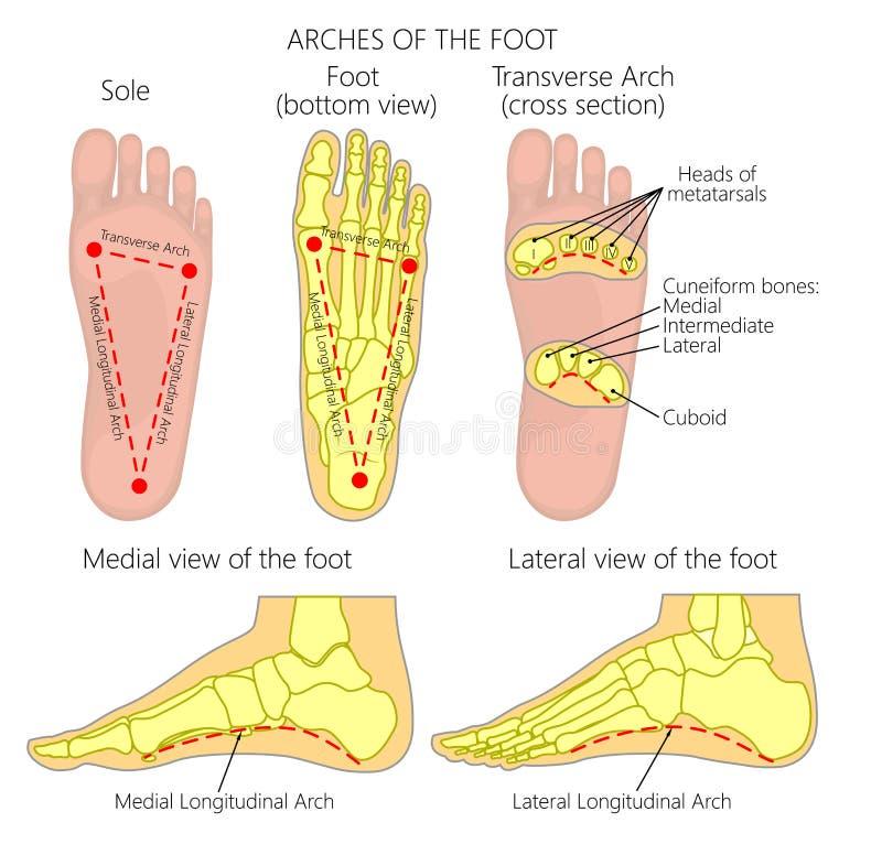 Своды ноги иллюстрация штока