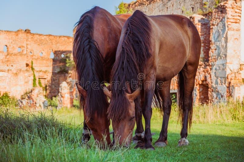 2 связали лошадей пася вместе с руинами старого замка стоковое изображение