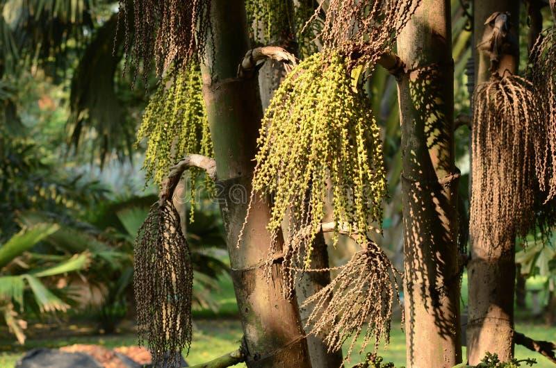 Связанное дерево Urens Caryota Fishtail ладони в природном парке стоковые изображения