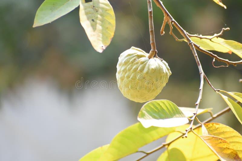 Связанное Яблоко стоковое фото rf