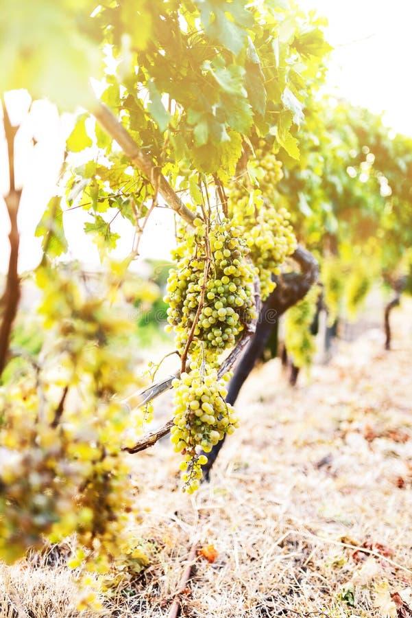 Связка винограда вися на запасе лозы в золотом солнечном свете стоковые изображения rf