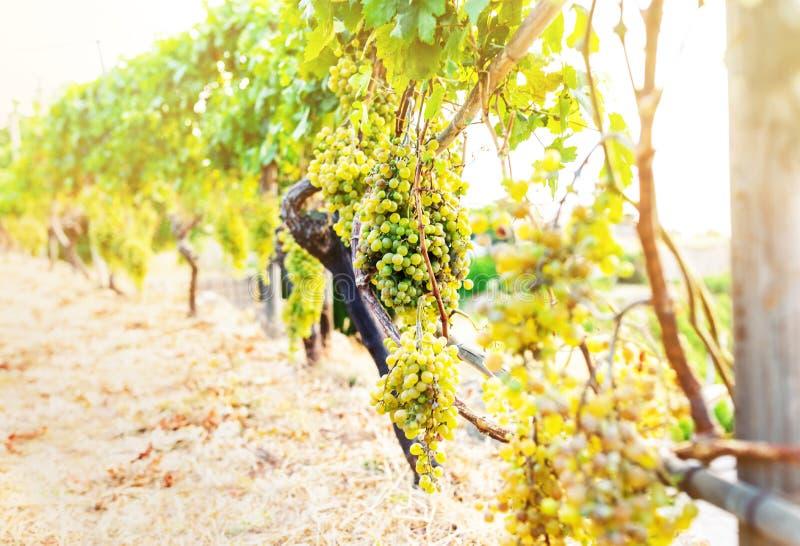 Связка винограда вися на лозе в золотом солнечном свете стоковое изображение