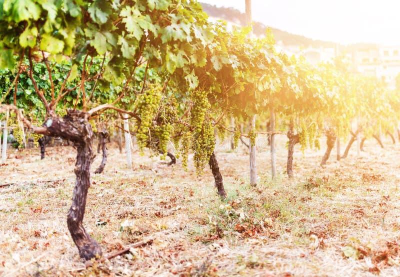 Связка винограда вися на лозе в золотом солнечном свете стоковая фотография rf